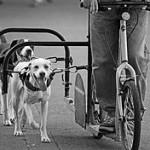 220px-Dog_scootering_side_4661927038_3f6e8ef819_o
